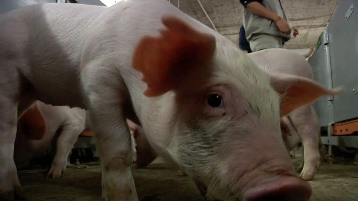 Monstrózní farma zvířat. Čínská firma staví třináctipatrový vepřín