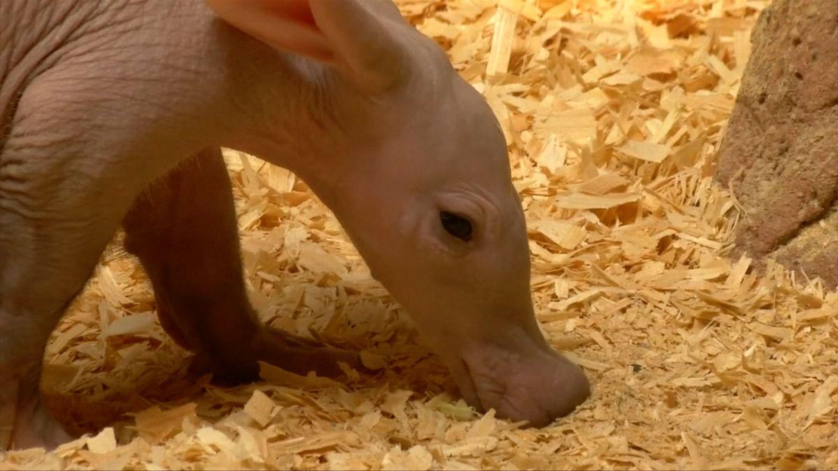 Nový přírůstek pražské zoo, mládě hrabáče se poprvé ukázalo návštěvníkům