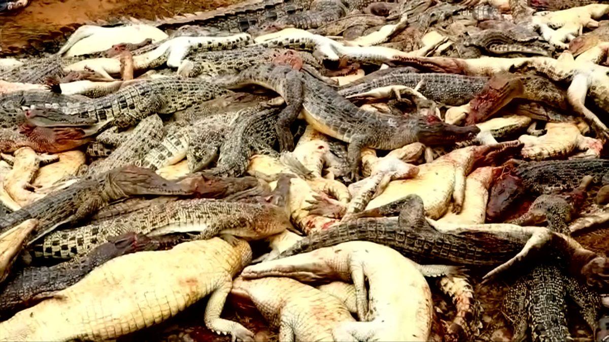 Dav rozzuřených vesničanů ubil téměř tři sta krokodýlů z tamější farmy