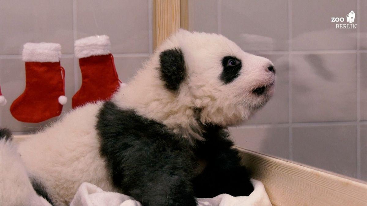 Video: První pandy narozené vBerlíně se ukázaly veřejnosti
