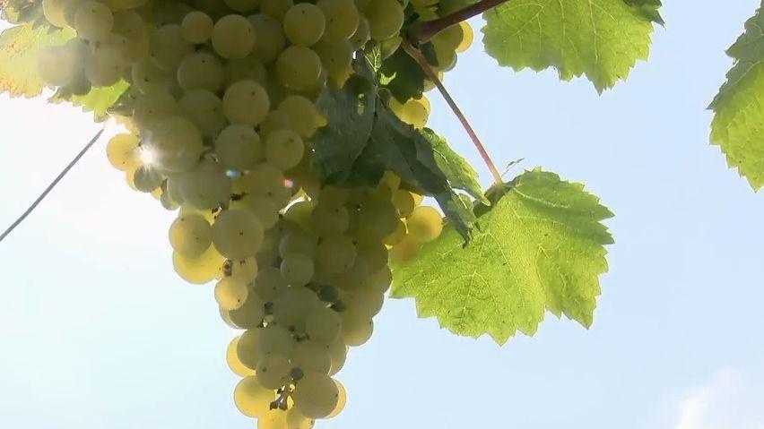 Sonberku pomohli slámové víno zPálavy zachránit dobrovolníci