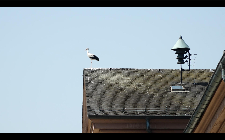 velké bílé ptáky videa