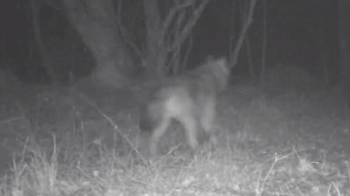 Video. Kamery zachytily rozrůstající se rodinu vlků na Šumavě