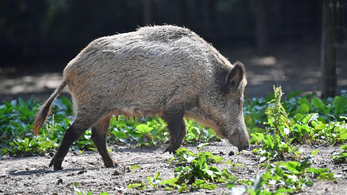Němci pročesávají lesy. Hledají prasata nakažená nebezpečným virem