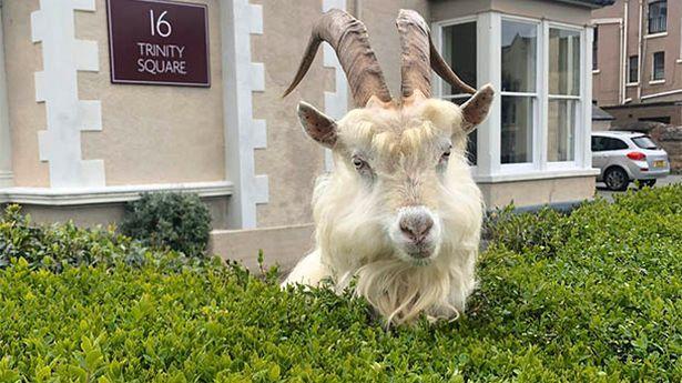 Ulice velšského města obsadily kozy