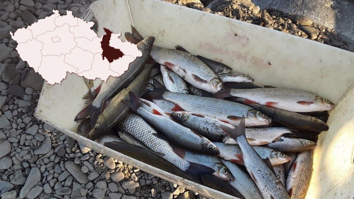 """""""Obrovská pohroma."""" Chemikálie vBečvě dál zabíjí desítky tisíc ryb"""