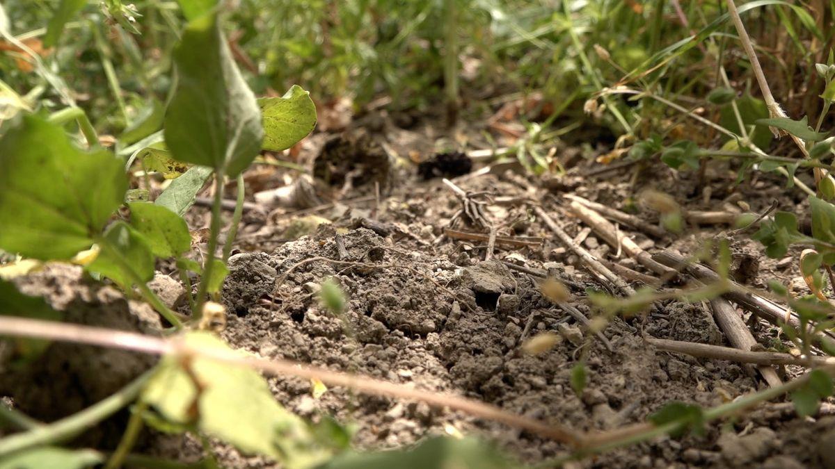 Eroze ohrožuje půlku české zemědělské půdy. Mohou za to i obrovské lány řepky