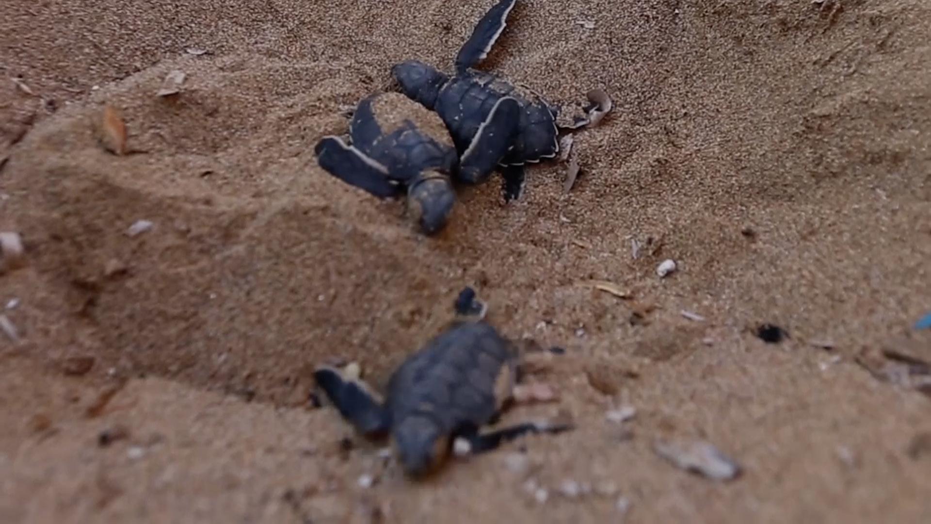 Ochranný program želv na Kypru slaví úspěch. Jejich počet se za třicet let ztrojnásobil
