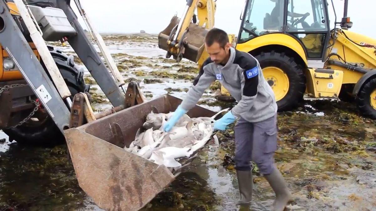 Moře na severu Francie vyplavilo přes 400 mrtvých žraloků