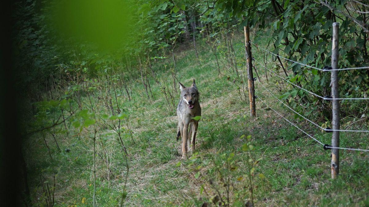 Dobrovolníci se budou učit, jak poznat stopy vlka či rysa