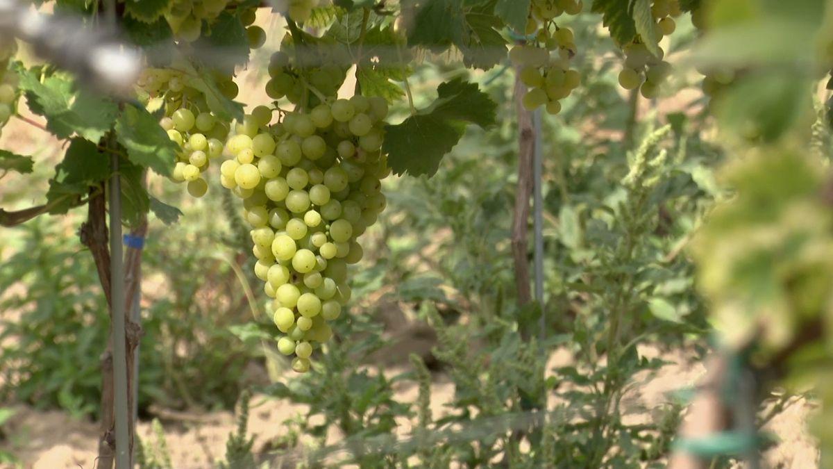 Počasí vinařům přálo. Přesto světová produkce vína klesne až očtvrtinu
