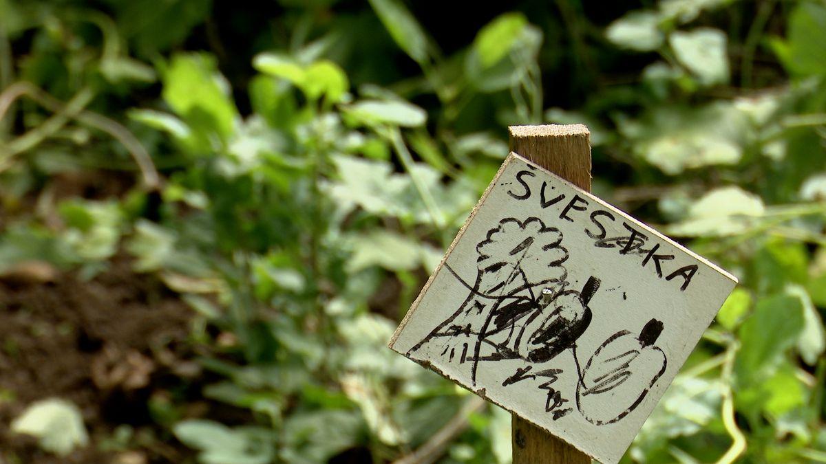 Zkrajiny mizejí ovocné stromy. Pecky zMoravy vypěstují nové, třeba na vaší zahradě