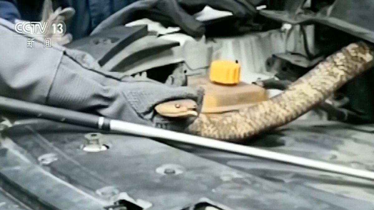 Třímetrová kobra schovaná vmotoru automobilu. Čínští policisté řešili nepříjemný případ