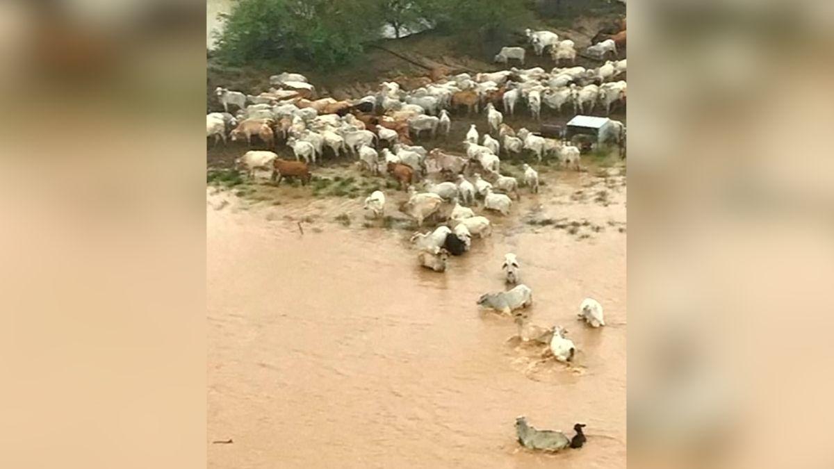 Záplavy vAustrálii připravily oživot až 500tisíc krav, zemědělci se bojí hospodářské krize