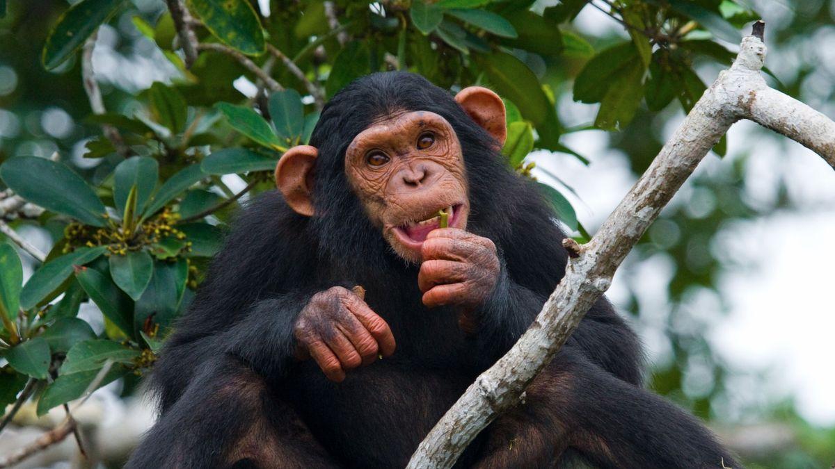 Čůrající opičák jako odpověď na mluvčího Ovčáčka. Adalší symboly roku 2019