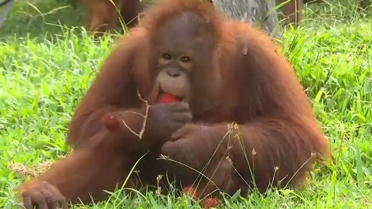 Orangutaní samice zústecké zoo se budou stěhovat na Nový Zéland