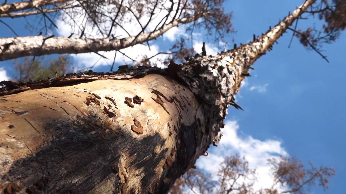 Sucho ničí české stromy a lesy, nejhůře je na tom borovice