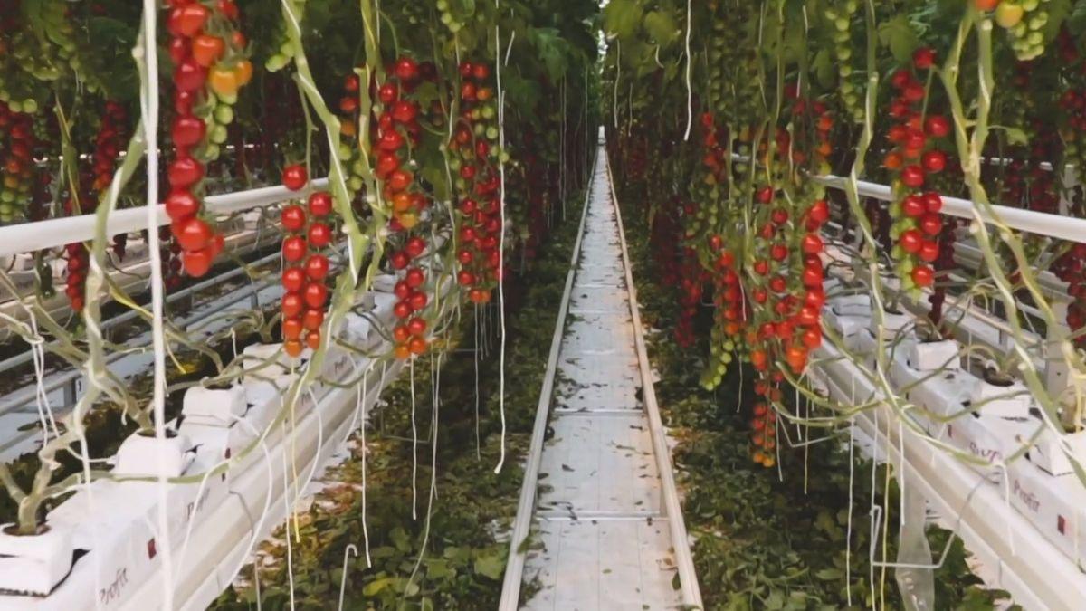 Zlínská firma NWT chce vrátit do obchodů českou zeleninu
