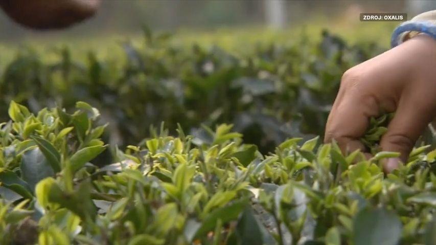 Další slušovický zázrak: Češi vyvážejí čaj do Indie
