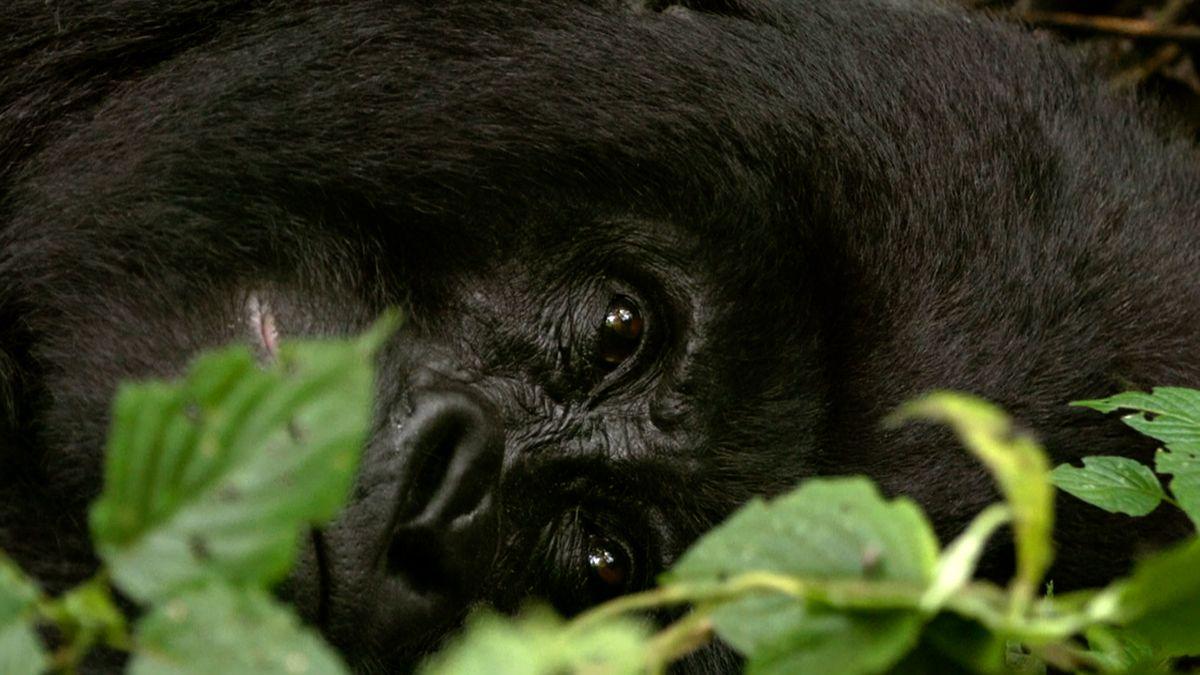 Gorily mohou chytnout koronavirus. Afrika zavírá parky, přijde openíze