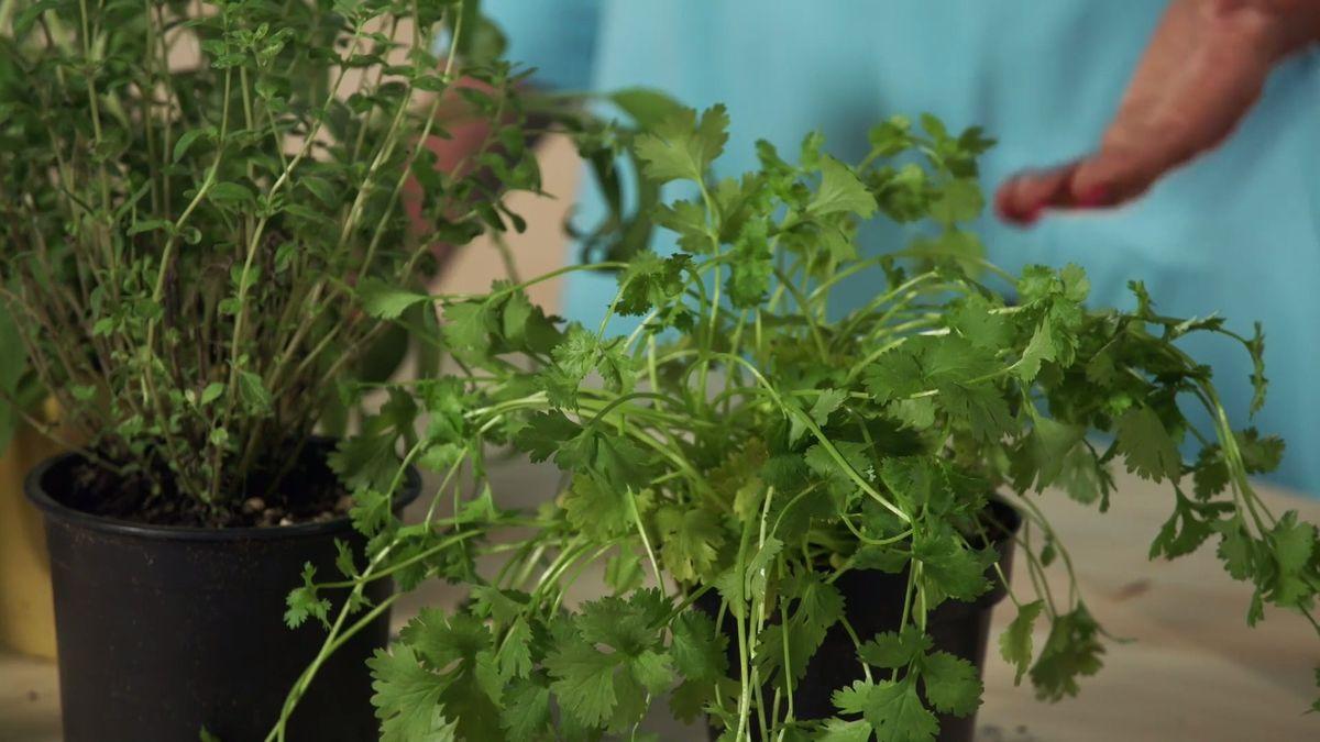 Co dělat, aby bylinky ze supermarketů vydržely co nejdéle