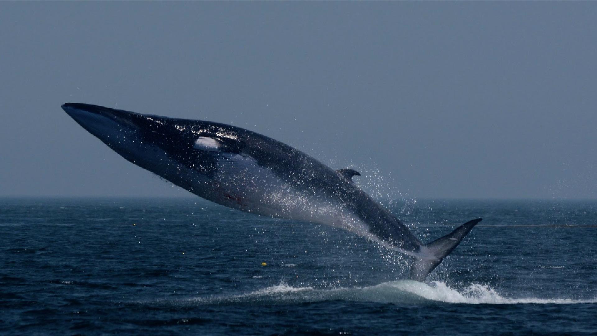 Islandští velrybáři se vrací k lovu ohrožených plejtváků. Po dvouleté pauze jich mohou zabít až 190