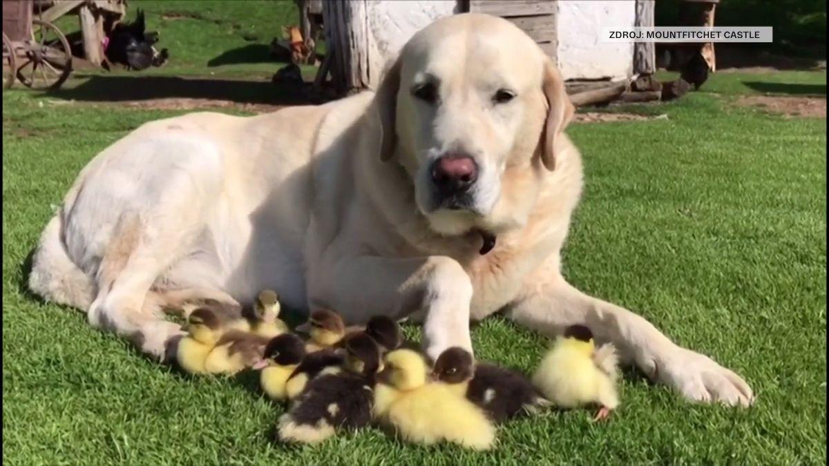 Labrador Fred se ujal devíti kachních sirotků, podle svědků je učil plavat v hradním příkopě