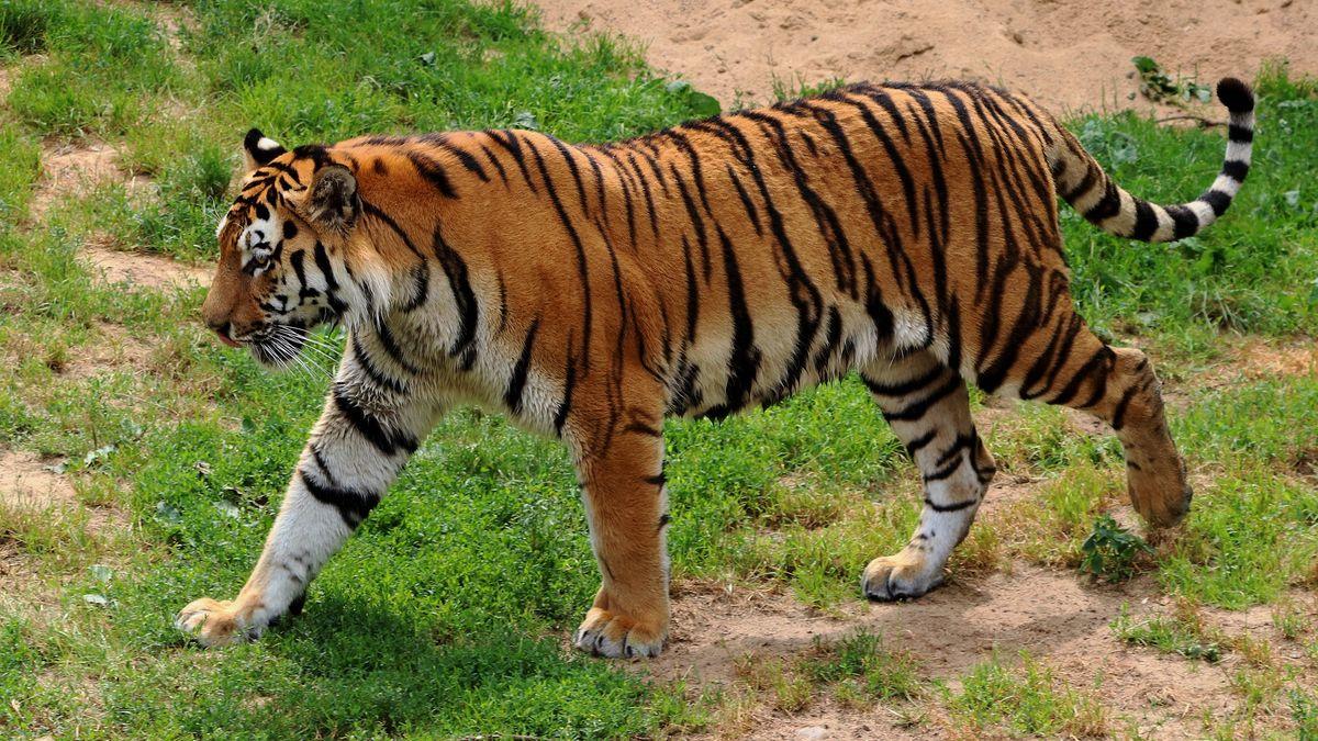 Ze zoo na západě Německa unikli po povodni dva lvi, dva tygři a jaguár