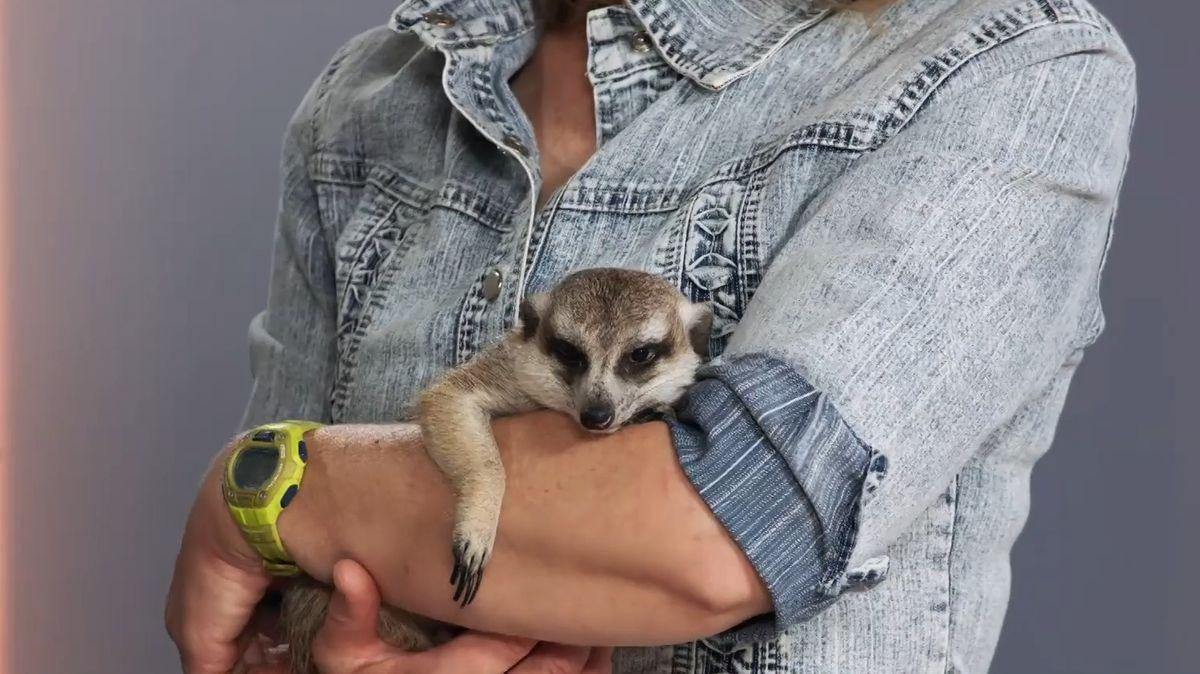 Se surikatami musíte trávit několik hodin denně a být součástí jejich party, říká chovatelka