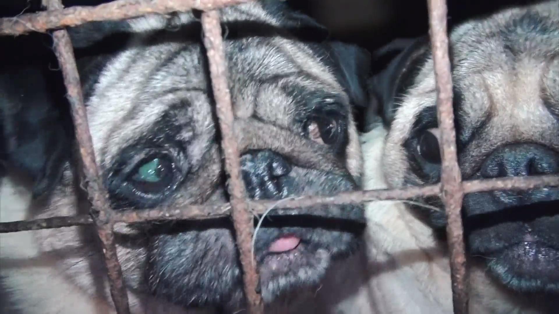 Obzor: Otřesné záběry z velkochovů. Česko je množírnou psů pro Evropu, trpí i jiná zvířata