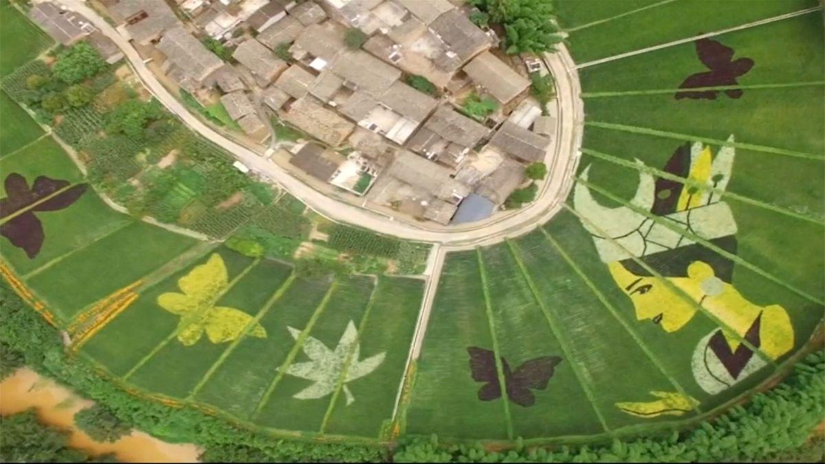 Barevné obrazce motýlů v rýžových polích vytvořili v Číně za pomoci GPS