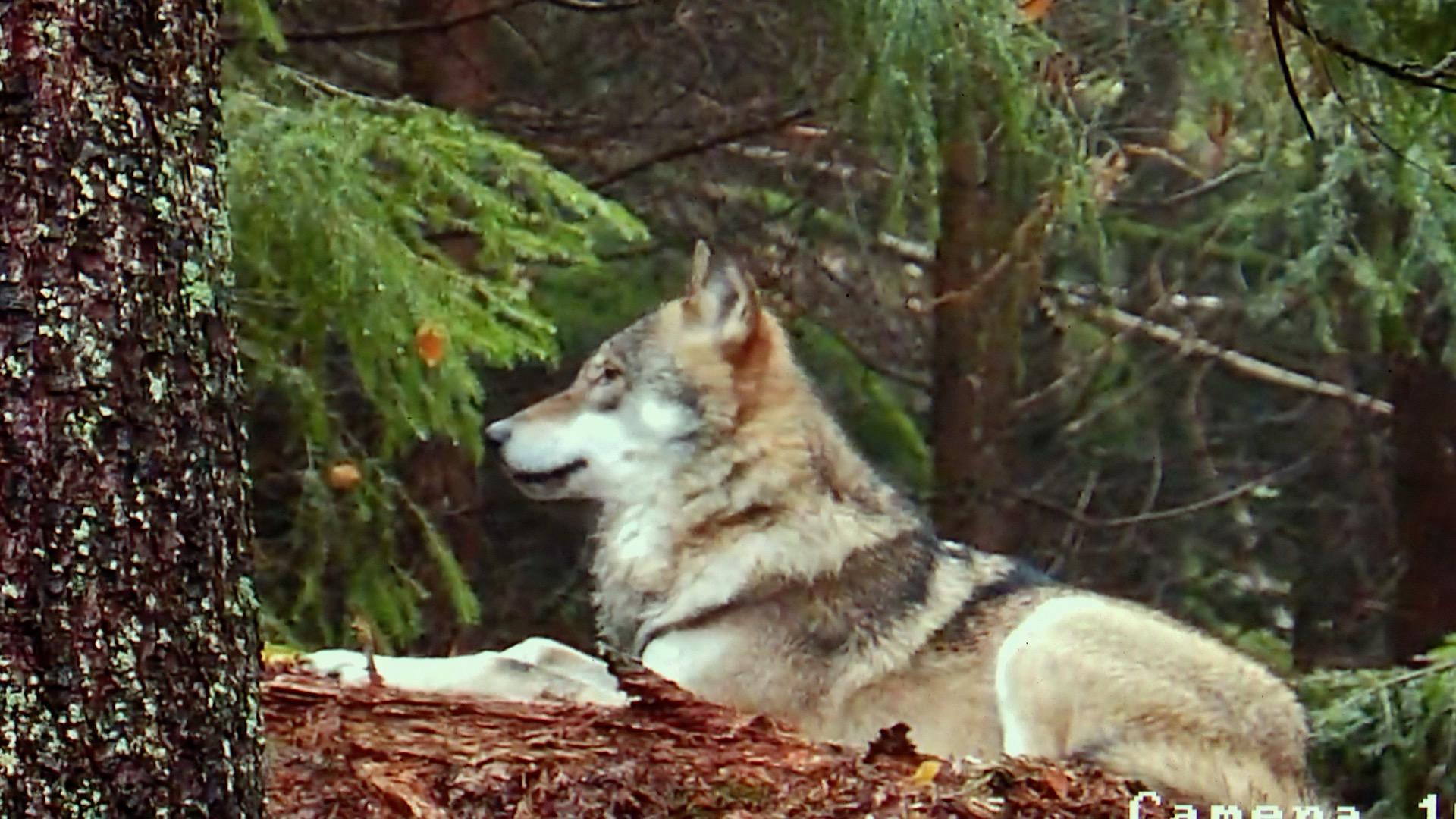 Do Čech se vracejí vlci. Fotokamera zachytila smečku s několika mláďaty v  okolí Třeboně - Seznam Zprávy 9b1f407dcc
