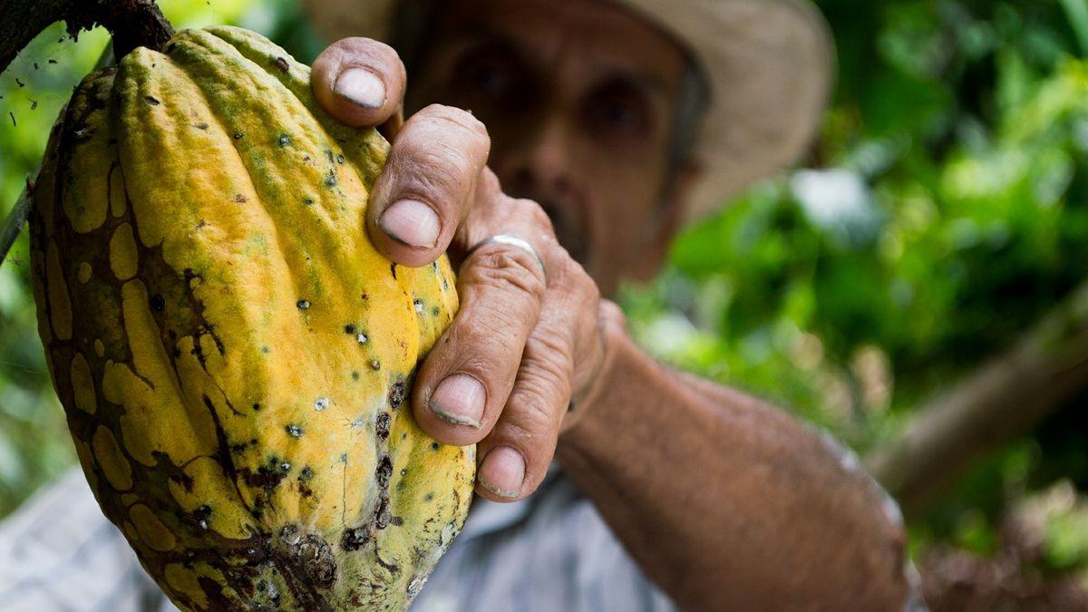 Kakao: pro někoho radost, pro jiné tvrdá dřina za méně než dolar na den