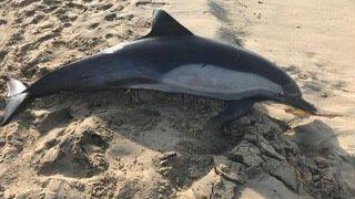 V Kalifornii našli na pláži zastřeleného delfína. Ochránci zvířat vypsali odměnu