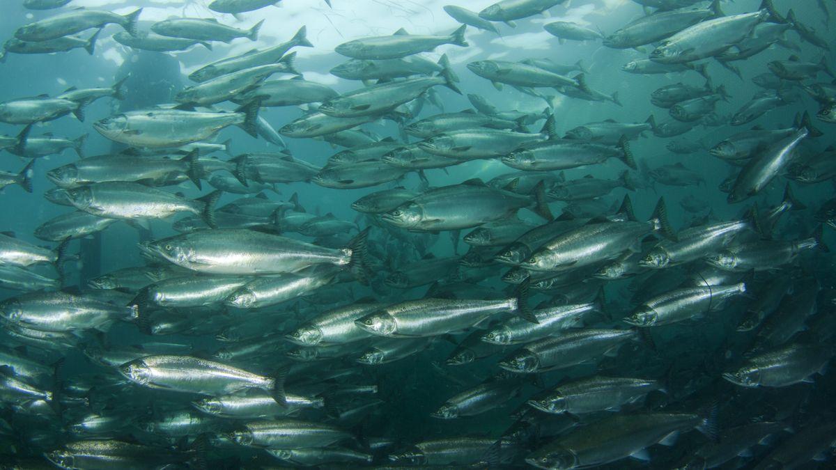 Počet volně žijících lososů ve skotských vodách je nejnižší za posledních 67let