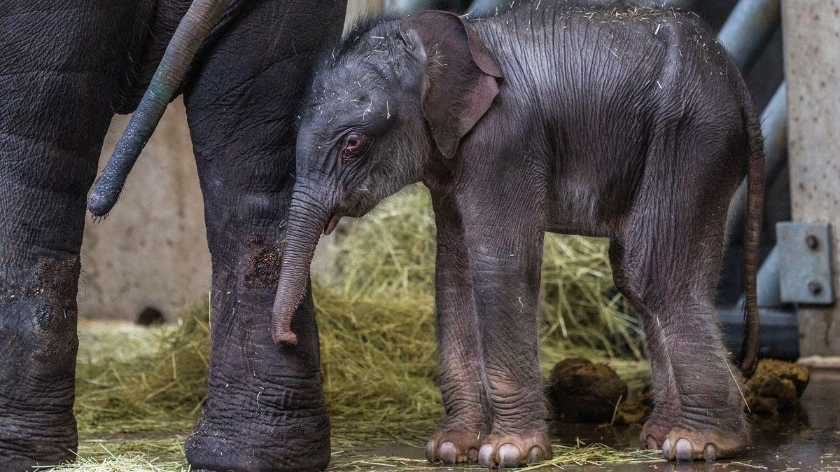 Slůně narozené ve zlínské zoo je vitální, samice oněj starostlivě pečuje