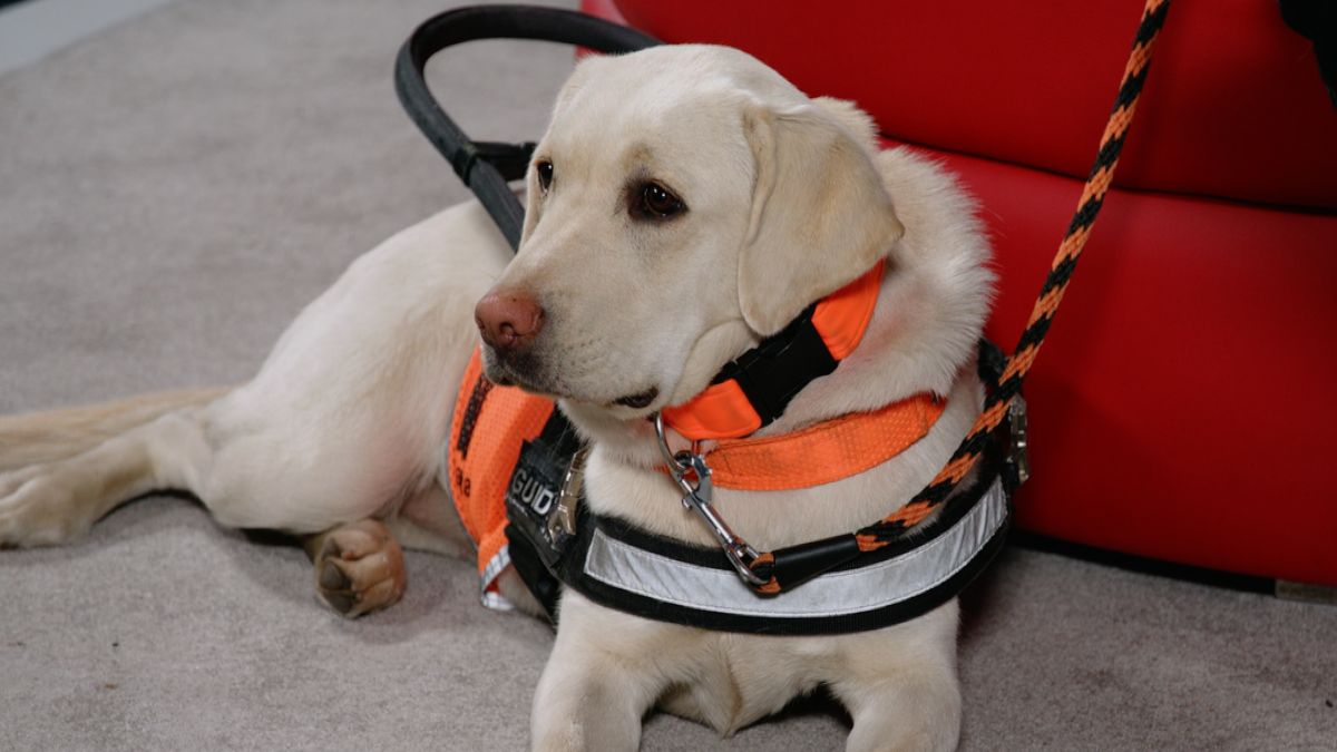 Vodicím psem číslo jedna je labradorský retrívr. Jaká další plemena mohou pomáhat?