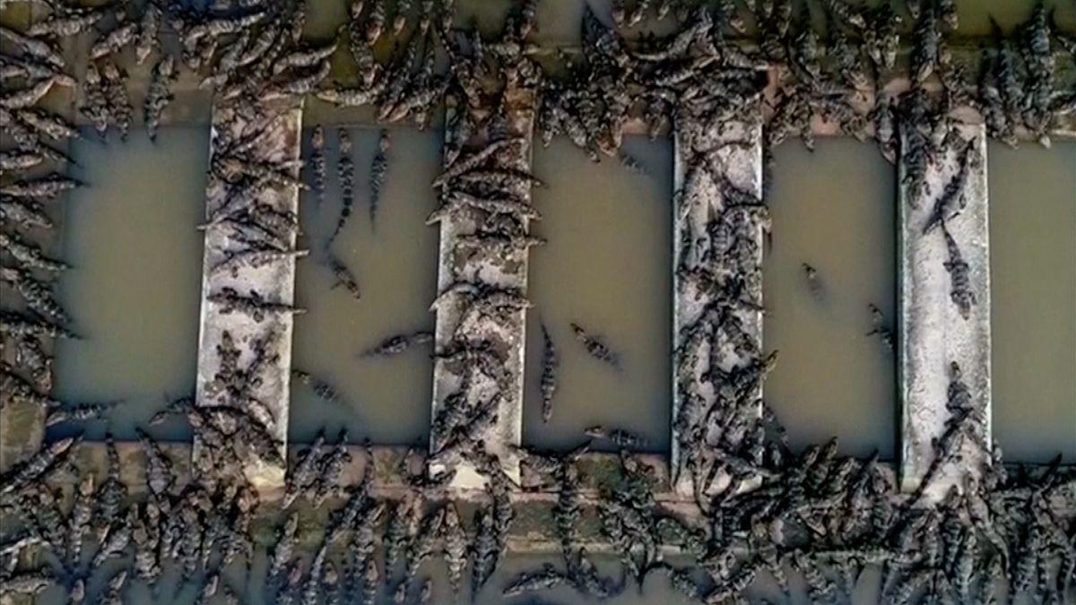 Boj za záchranu čínských aligátorů. Chovatelé je z rezervace pouští do divoké přírody