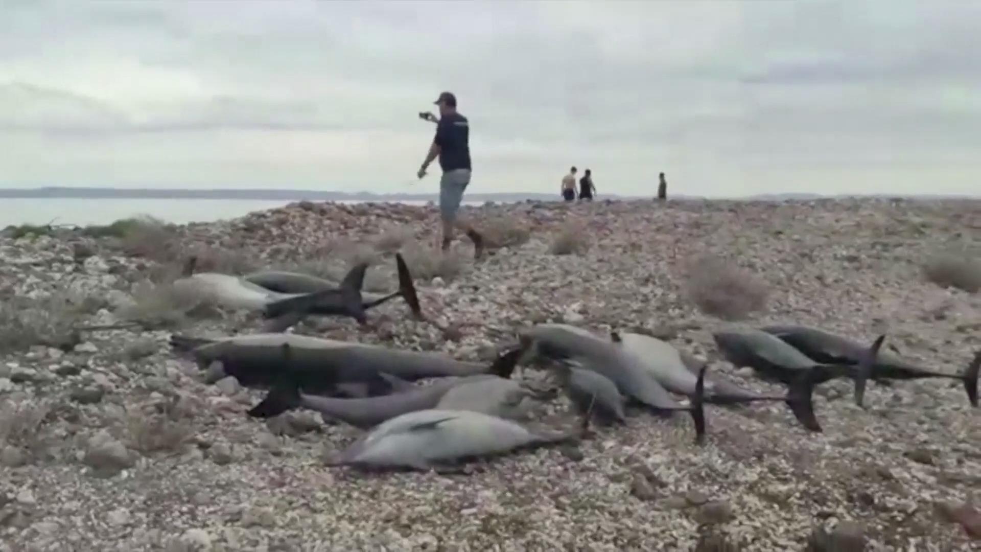 Delfíni zahnali své druhy na pláž, z 59 se jich podařilo zachránit 38