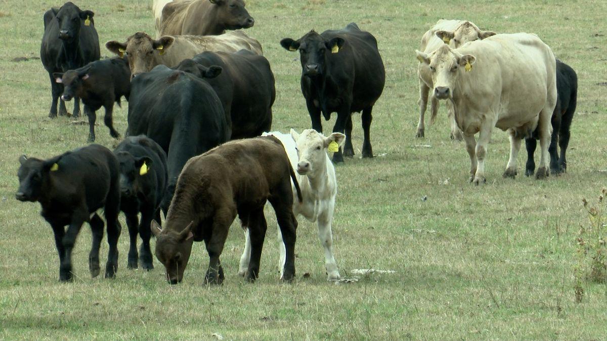 Agrofertu záhadně uhynuly desítky krav. Policie řeší i možnost, že je někdo otrávil