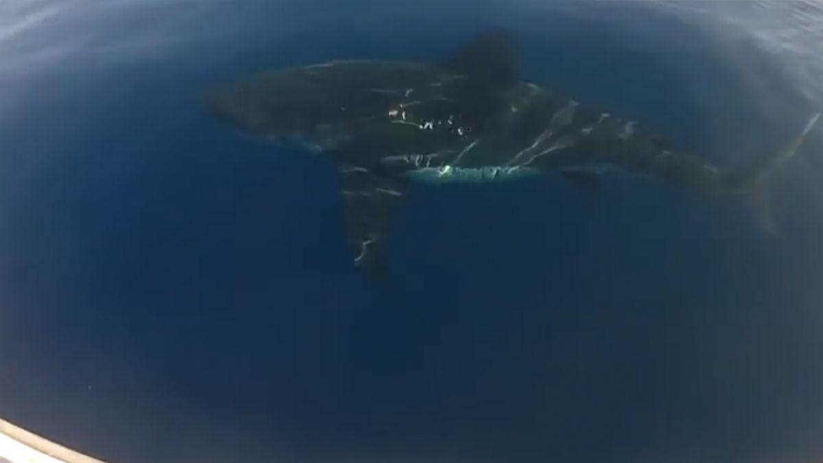 U španělské Mallorky se po třiceti letech objevil žralok. Nejspíš velký bílý