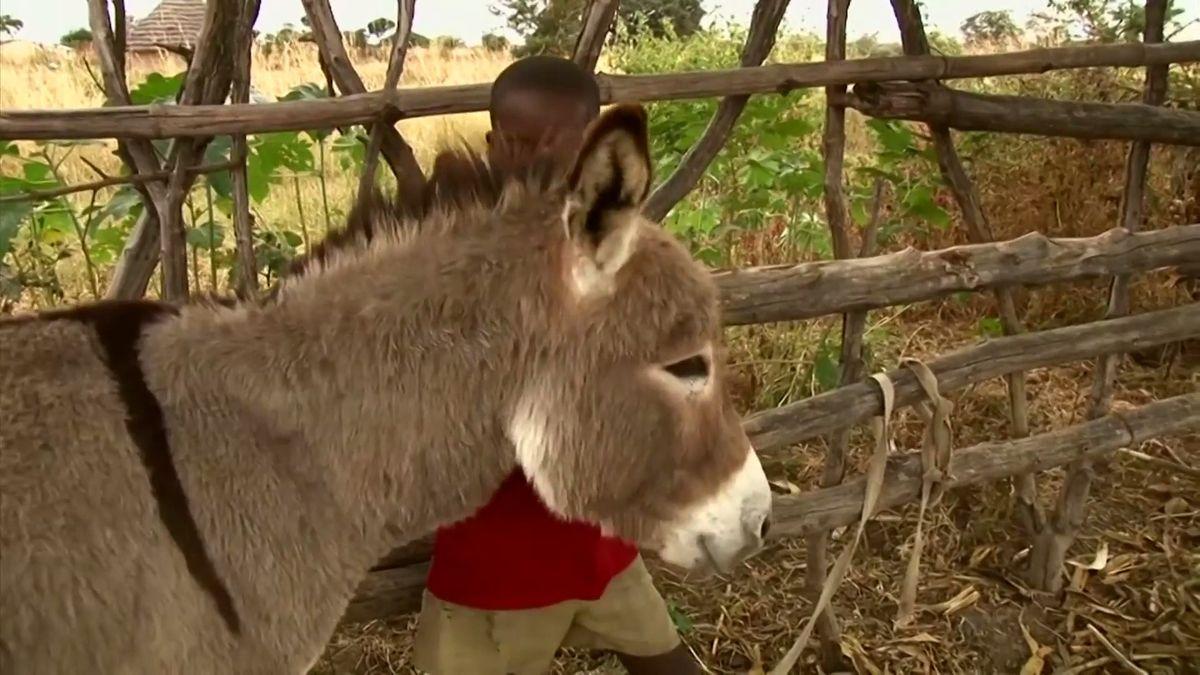 Pytláci po celé Africe hromadně vybíjejí osly, Čína štědře platí za jejich kůže