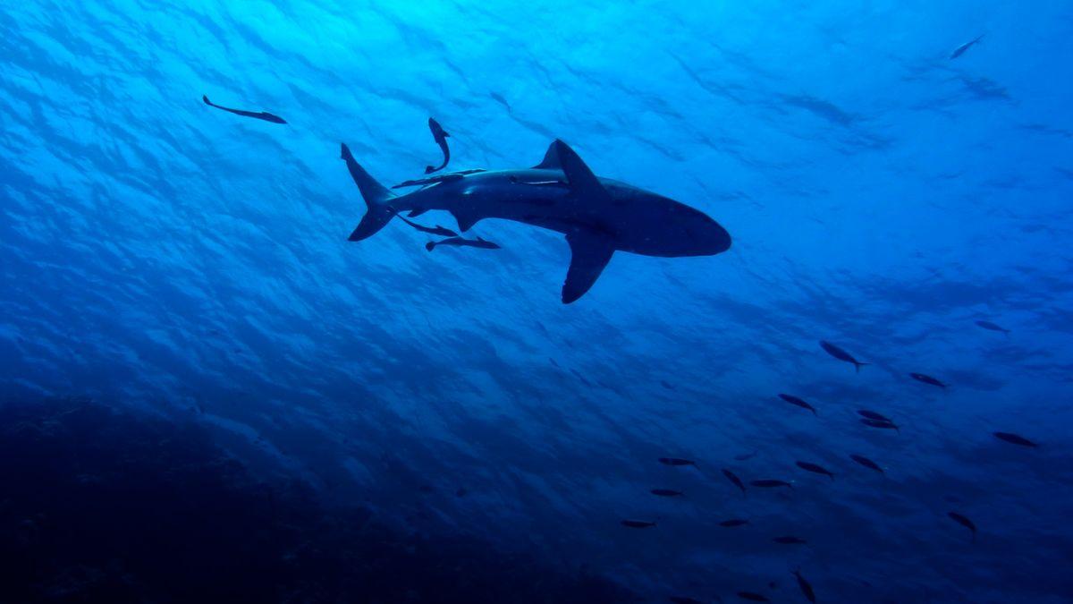 Nejrychlejší žralok na světě inspiruje armádu USA. Podle jeho kůže chce vyvinout obratnější letadla