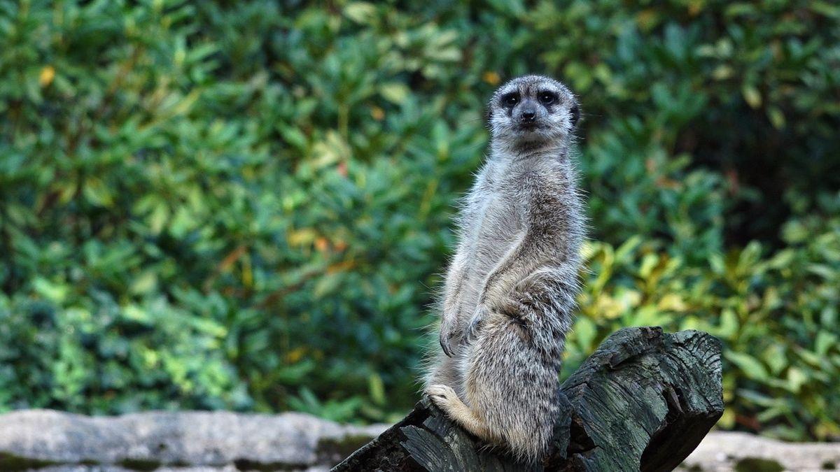 Klokan Tonda nebo hroch Slávek? Už ne. Zoo ustupují od polidšťování zvířat a vybíjejí nepotřebná