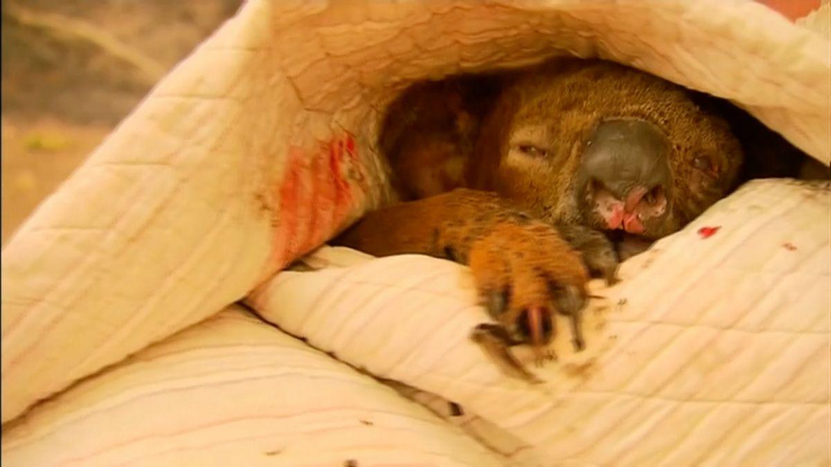 Kamera zachytila Australanku, jak zachraňuje zhořícího lesa koalu