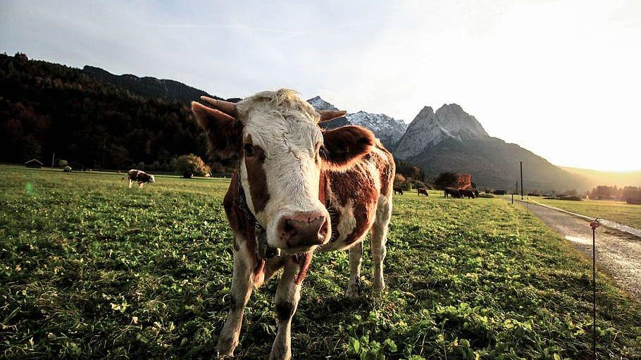 Do vesmíru vzlétne satelit, aby změřil, kolik metanu produkují krávy