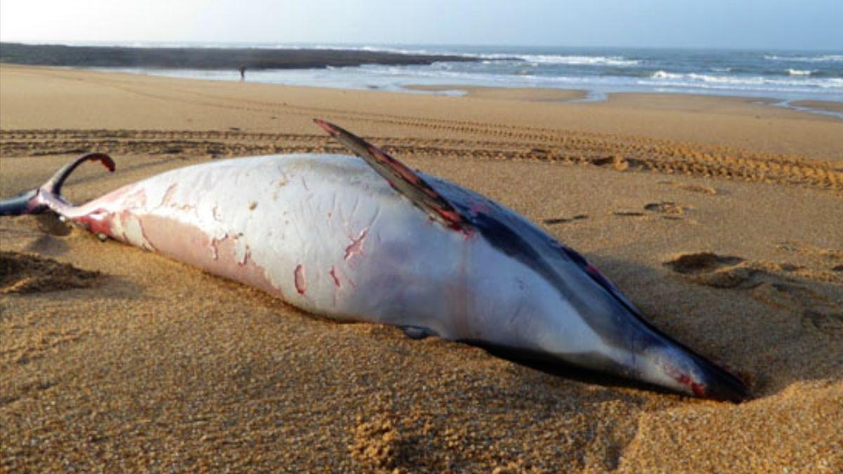 Kvůli průmyslovému rybolovu umírá na březích Francie rekordní počet delfínů