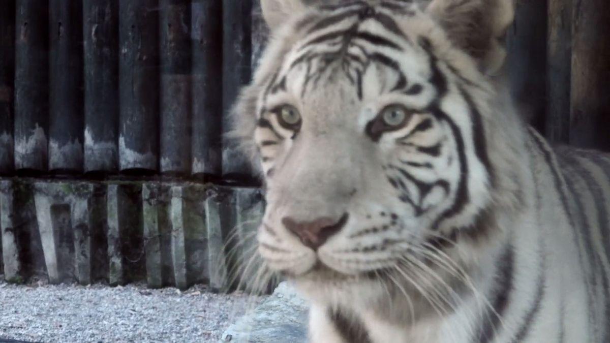 Přijde zoo olegendární bílé tygry? Chov vLiberci zoologům nedává smysl