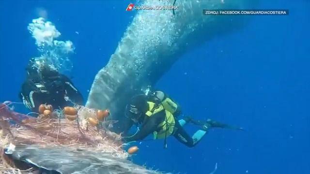 Video: Záchranářům se povedlo vysvobodit ze sítě chycenou velrybu