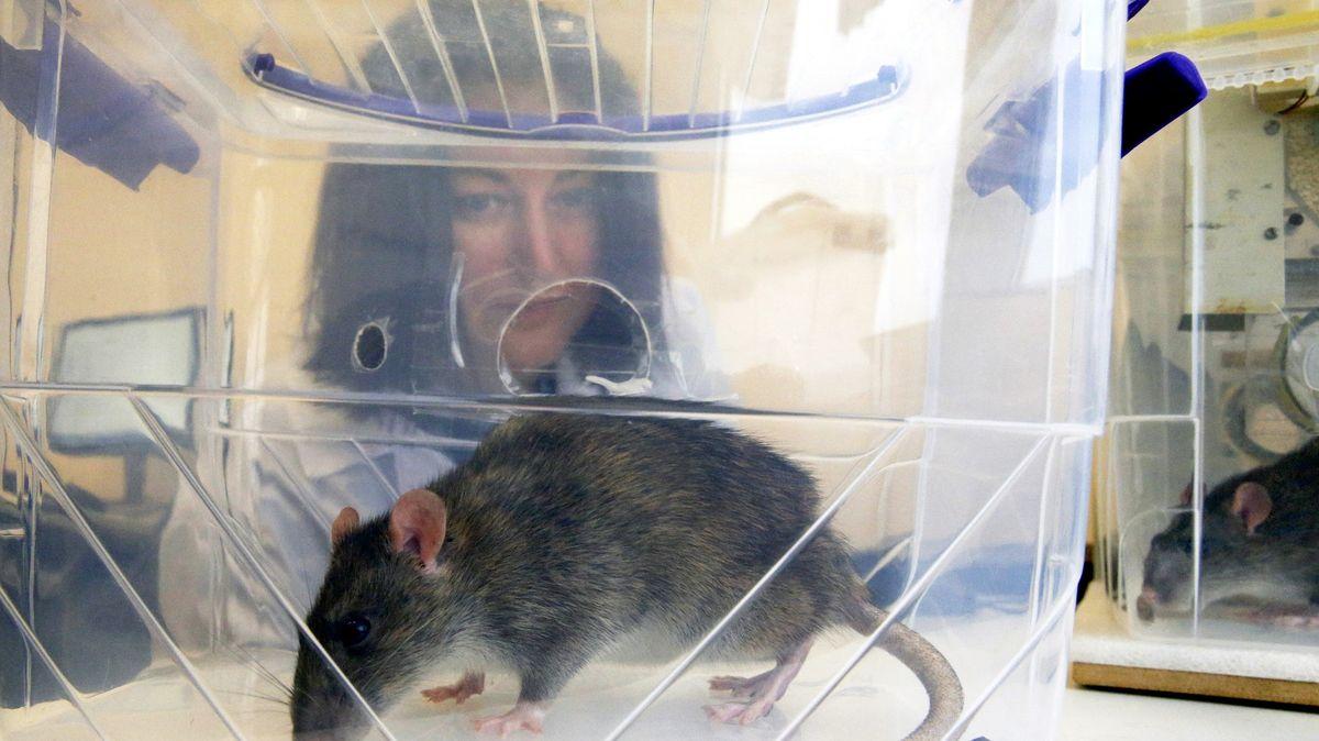 Nadějný detektor přenosných onemocnění? Budoucností jsou krysy